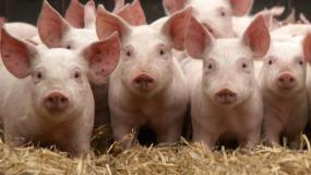 Новые правила для свиноводов. Обсуждение завершается